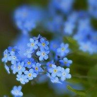 Голубые звёздочки :: *ALISA* .