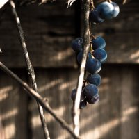 Виноградик :: Павел Кореньков