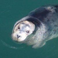 Застенчивый тюлень :: Анатолий Кузьмин