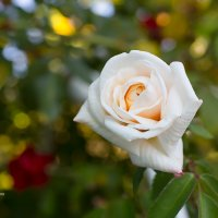 Белая роза :: Александр Синдерёв