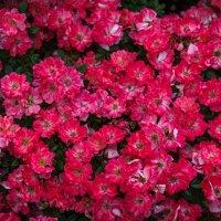 И это тоже розы... :: Андрей Нибылица