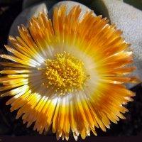 """Каменный цветок: """"Литопс"""" :: Aleks Ben Israel"""