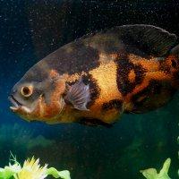 Оскар или тигровый астронотус,  пресноводная рыбка семейства Цихлиды... :: Наталья Меркулова