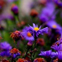 последние ноябрьские цветы :: Александр Прокудин