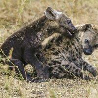 Два, играющих друг с другом, детеныша гиены :: Ольга Петруша
