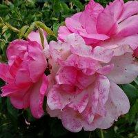 Соцветие роз... :: Владимир Бровко