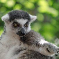 Сингапурский зоопарк, лемур. :: Edward J.Berelet