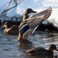 Утки на зимней реке :: Евгений Евдокимов