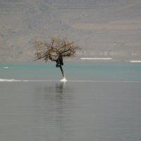 дерево по середине мертвого моря :: Inna Galkina
