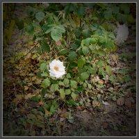 Белые розы :: Анатолий Чикчирный