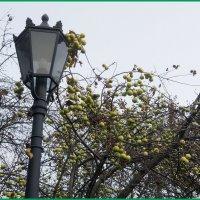 Яблоки в ноябре... :: Николай Дони