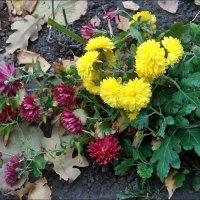 Главные цветы ноября :: Нина Корешкова
