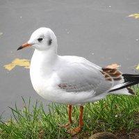 Чайка на озере в парке :: Маргарита Батырева