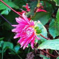 Цветы в ноябре - Георгин :: Маргарита Батырева