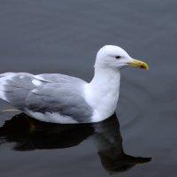 Серебристая чайка :: Наталья Лакомова
