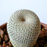 Epithelantha micromeris :: Александр Деревяшкин