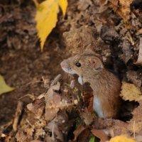 Мышка :: Svetlana Golovanova