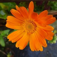Цветы в ноябре - Календула :: Маргарита Батырева