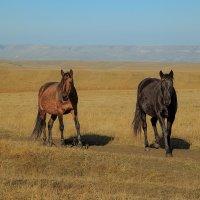 Карачаевская лошадь :: Леонид Сергиенко
