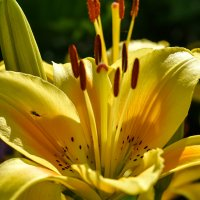 Золотая лилия :: Марина Шанаурова (Дедова)