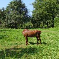 Пасущаяся   лошадь  в   Гошиве :: Андрей  Васильевич Коляскин