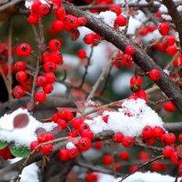 Что там за ягода алеет,когда уже прохладой веет... :: Тамара (st.tamara)