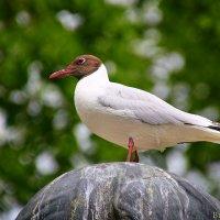 чайка :: Laryan1