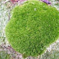 Даже зимой можно найти в лесу такую вот зелёную лужайку в миниатюре! :: Александр Куканов (Лотошинский)