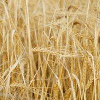Пшеница :: Владислав Левашов
