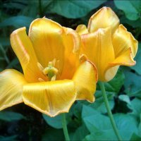 Жёлтые тюльпаны... :: Нина Корешкова