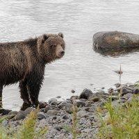 Медведь на Курильском озере :: Александр Поборчий