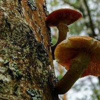 Грибы на деревьях (опята - переростки) :: Милешкин Владимир Алексеевич