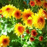 Осенние цветы в лучах солнца :: татьяна