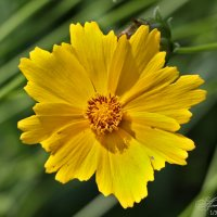 Рудбекия желтая (Rudbeckia yellow) :: Александр Волков