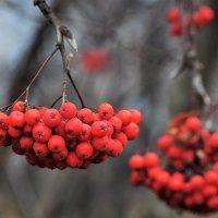 Рябины много, птички будут сыты. :: Татьяна Помогалова