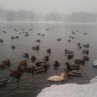 Утки зимой :: Сапсан