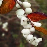 дикие плоды в декабре :: георгий петькун