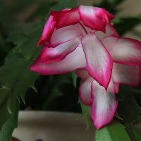 Зимнее цветение. :: Маргарита ( Марта ) Дрожжина