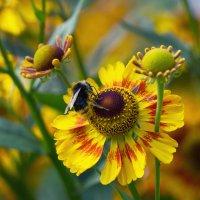 Шмель на цветке :: Aнна Зарубина