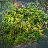 Мох на дереве :: Денис Масленников