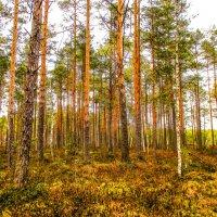 В сосновом лесу всегда много света! :: Александр Куканов (Лотошинский)