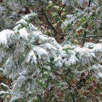 Шиповник  и сосна в объятьях снежных сна... :: Светлана