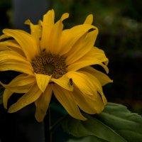 Цветок подсолнуха :: Владимир Орлов