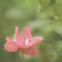 Розовый мак. Poppy. :: Юрий Воронов