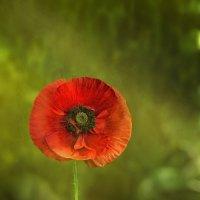 Красный мак. Red poppy. :: Юрий Воронов