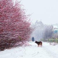 Снегопад. Боярышник. Собака :: Вера Сафонова