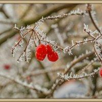Зимние ягоды... :: Юрий Гординский