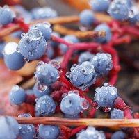 Девичий виноград в хрустале :: Swetlana V