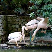 Пеликаны :: Ольга Зубова