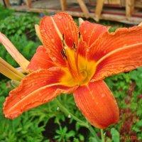 Зацветают цветы на наших страницах :: Лидия (naum.lidiya)